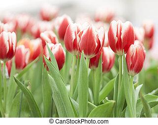 tulpan, blomma
