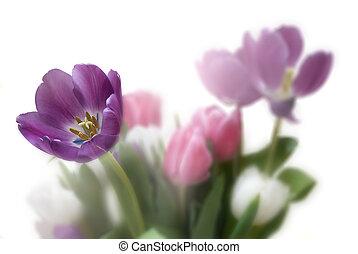 tulpan, blommig, bakgrund, med, rättighet, sida, copyspace