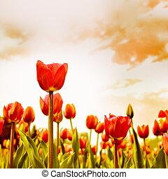 tulpan, Blomstrar, äng