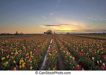 tulpan, solnedgång, fält