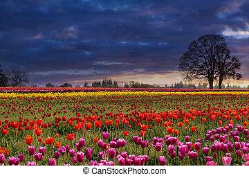 tulpan, solnedgång, färgrik, fält
