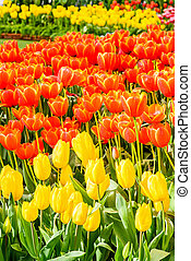 tulpaner, blomningen, i trädgården