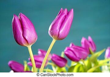 tulpaner, rosa blommar, blåa gröna, ateljé fotograferade