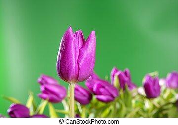 tulpaner, rosa blommar, levande, grön fond