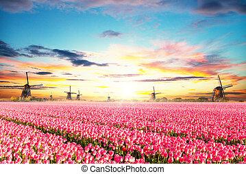 tulpaner, vindmotorer, nederländsk, fält, vibrerande
