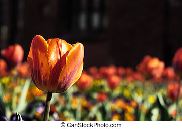 tulpe feld, vor, a, schöne , alte kirche, in, riga, (latvia)