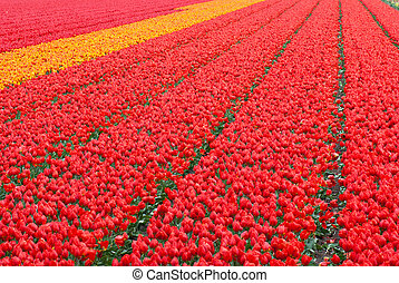 tulpen, akker, achtergrond