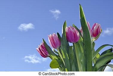 tulpen, auf, a, blauer himmel