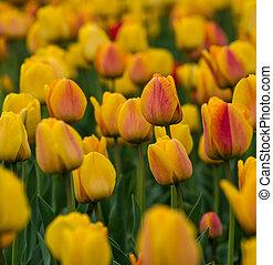 tulpen, auf, a, feld