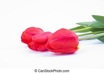 tulpen, auf, a, weißer hintergrund