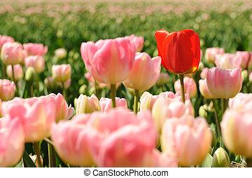 tulpen, felder