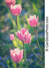 tulpen, in, kleingarten