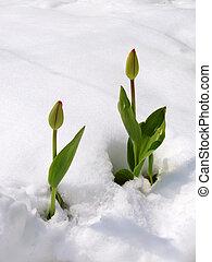 tulpen, in, schnee
