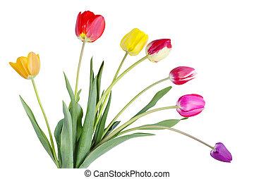 tulpen, kleurrijke