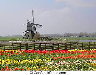 tulpen, molen, nederland, akker