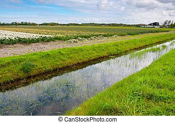 tulpen, niederländisch