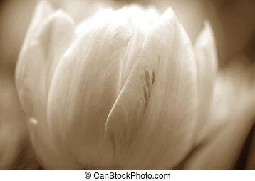 tulpen, sepia