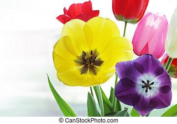 tulpen, transparant