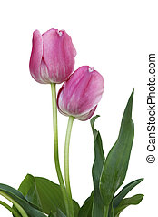 tulpen, twee