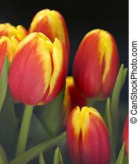 tulpen, weich, hintergrund