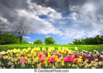 tulpen, weide, lente