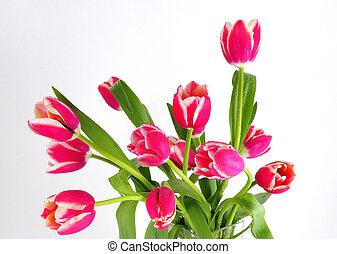 tulpen, wit rood, achtergrond