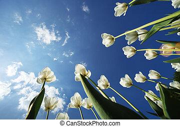 tulpenblüte, blumen, aus, himmelsgewölbe, hintergrund