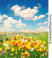 tulpenblüte, blumen, feld, aus, blauer himmel