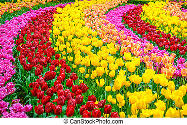 tulpenblüte, blumen, kleingarten, in, fruehjahr, hintergrund, oder, muster