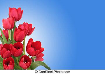 tulpenblüte, blumen, rotes