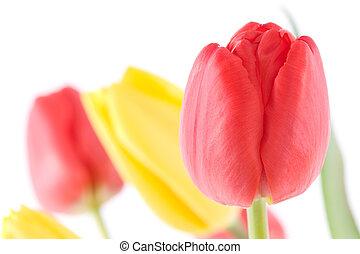 tulpenblüte, detail