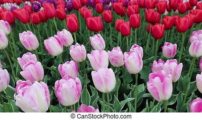 tulpenblüte, fest, washington, mt vernon, skagit