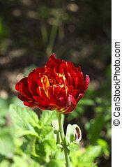 tulpenblüte, franse