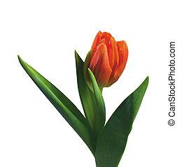 tulpenblüte, freigestellt, weiß