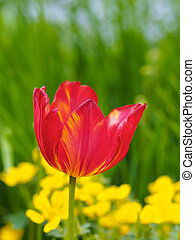 tulpenblüte, in, a, kleingarten