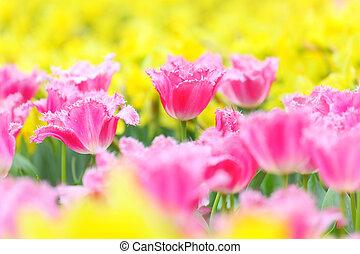 tulpenblüte, in, blume, feld