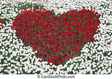 tulpenblüte, kleingarten, mit, rotes , tulpen, form, von, a, herz