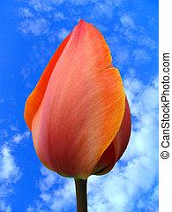 tulpenblüte, knospe