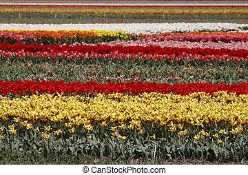 tulpenblüte, niederlande, fruehjahr, feld
