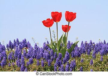 tulpenblüte, (red)