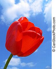 tulpenblüte, rotes