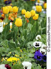 tulpenblüte, und, stiefmütterchen, blumengarten, springen jahreszeit