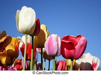 tulpenblüte, zeit