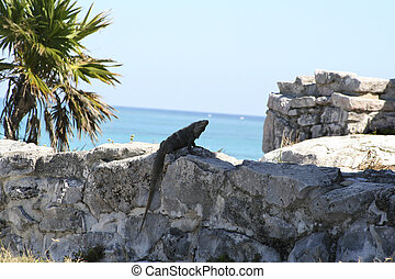 Tulum lizard - Lizard , reptile at one of the ruins in tulum...