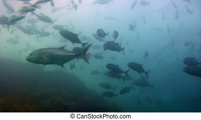 Tuna Fish shoal on a blue background of water in ocean on...