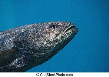tuna fish swimming underwater known as bluefin tuna,...