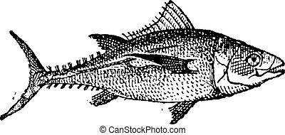 Tuna, vintage engraving. - Tuna fish on white background,...