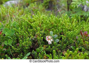 Tundra flowers in green grass