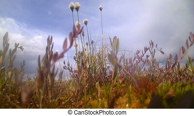 tundra, marsh area of the North with cotton grass -...