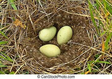 tundra., nest, ente